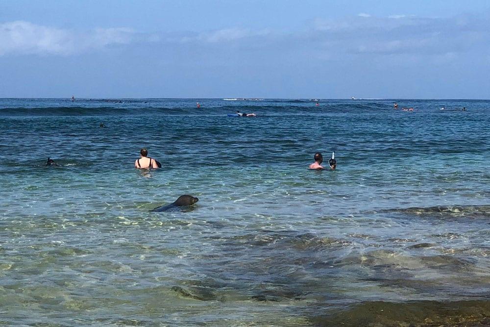 Hawaiian Monk Seal swimming in surf at Brennecke's Beach in Poipu Kauai