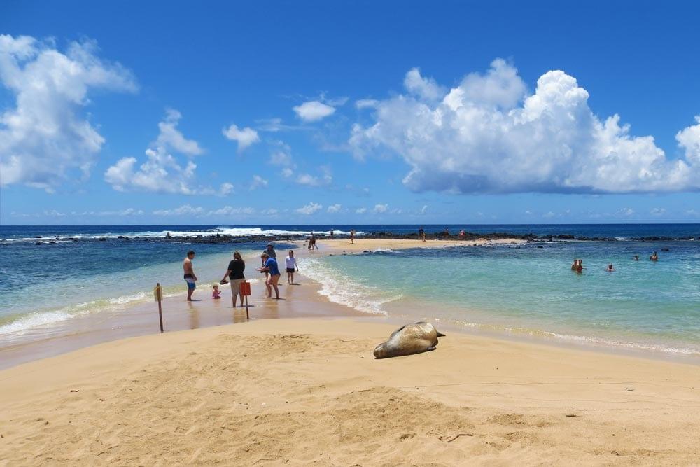 Poipu Beach Park snorkelers and Hawaiian Monk Seal
