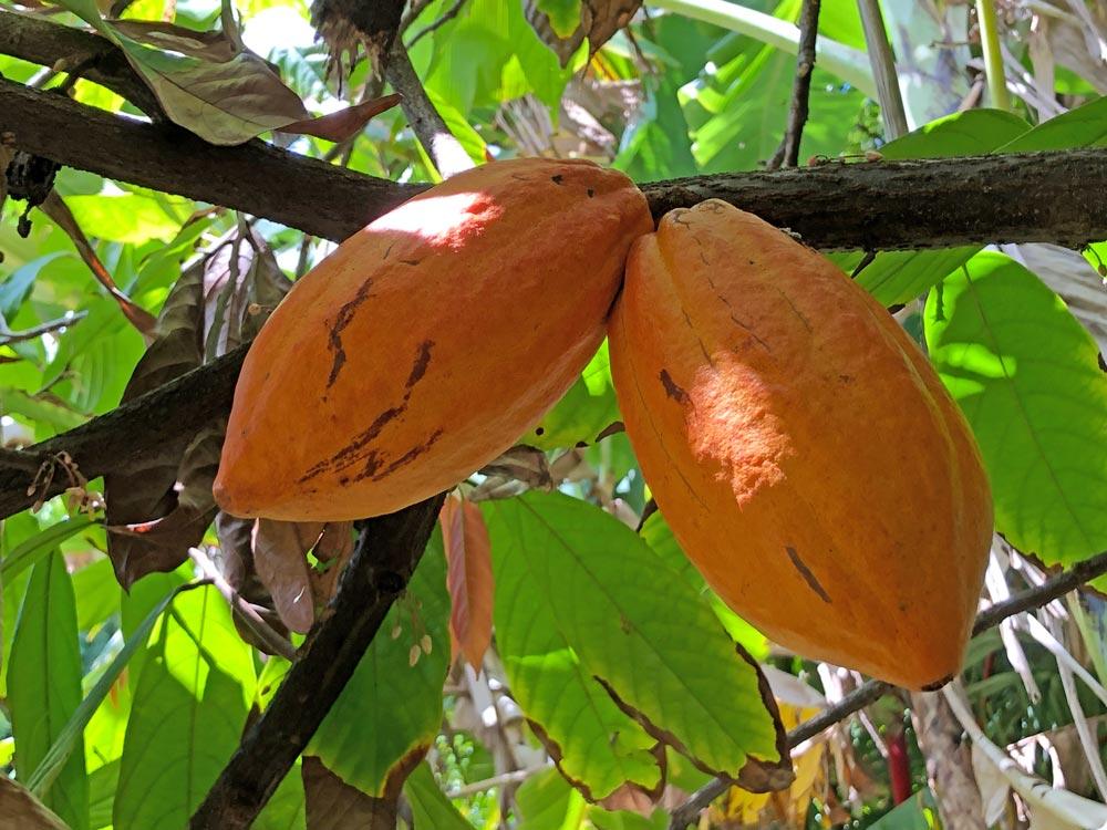 Cacao pods at Kauai National Tropical Botanical Gardens by Robin Gotfrid