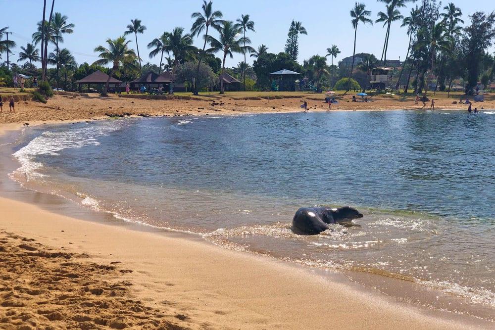Hawaiian Monk Seal hauled out at Poipu Beach Park in Poipu Kauai