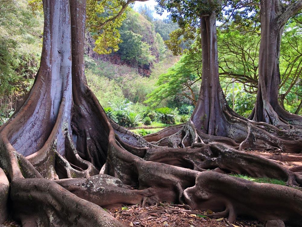 Moreton Bay Fig trees at Kauai National Tropical Botanical Gardens by Robin Gotfrid