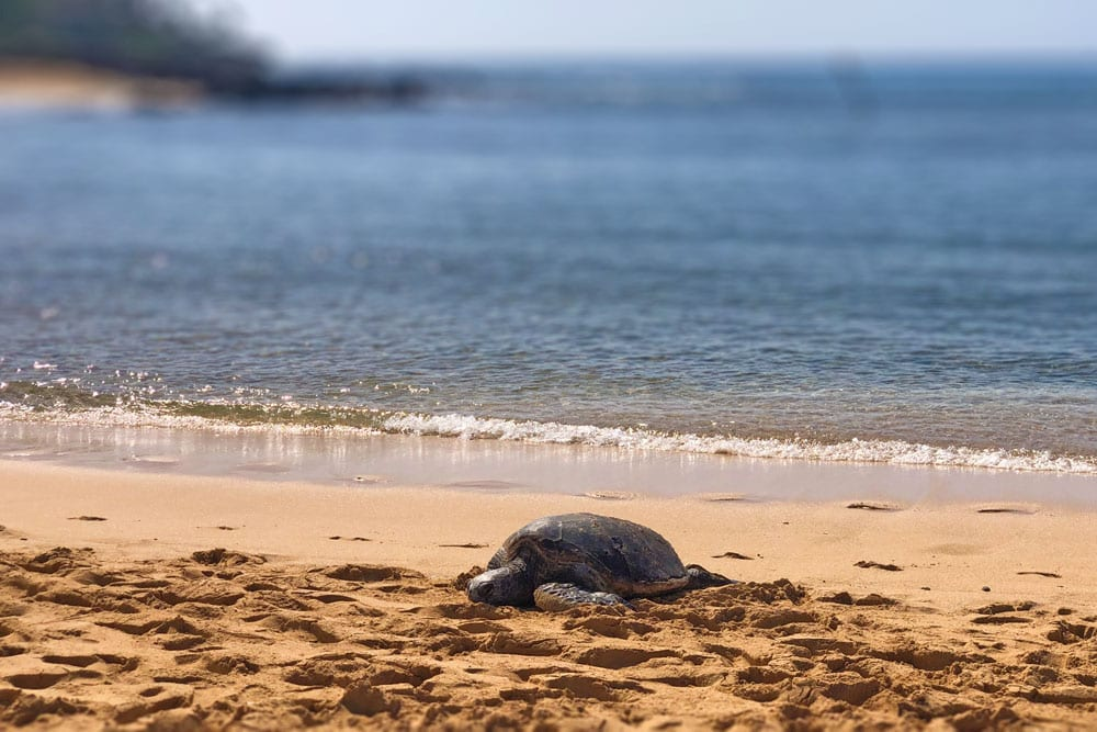 sea turtle at Poipu Beach Park